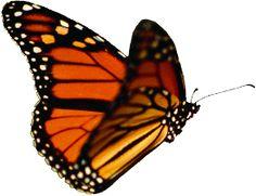 De grootste vlindertuin van Europa is de Orchideeën Hoeve in Luttelgeest (Flevoland)