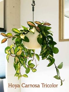 Hoya Carnosa Tricolor hangplant Indoor Plants, Terrarium, House Plants, Succulents, Garden, Nature, Flowers, Google, Pots