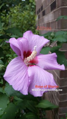 The Rose of Sharon (Hibiscus syriacus) also known as an Althea shrub is a mid summer bloomer in white, pink, red, or purple with a red center. You can also find them ruffled in the same array of co… Garden Frogs, Bird Bath Garden, Glass Garden, Garden Totems, Fast Growing Plants, Growing Flowers, Planting Flowers, Garden Whimsy, Garden Junk