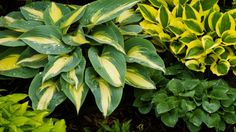 A little summertime hosta care can go a long way in keeping your hosta plants beautiful, vibrant, and full of foliage right up until late fall. Herbaceous Perennials, Shade Perennials, Flowers Perennials, Planting Flowers, Hosta Plants, Foliage Plants, Shade Plants, Flowering Plants, Types Of Hostas