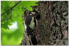 Woodpecker by Watze D. de Haan