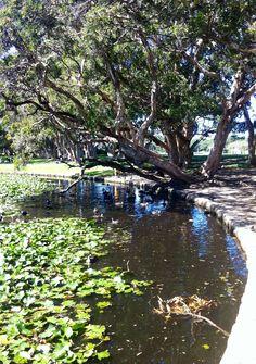 Lily pond, Centennial Park, Sydney