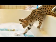 Savannah Cat Fishes Toy Out Of Bath