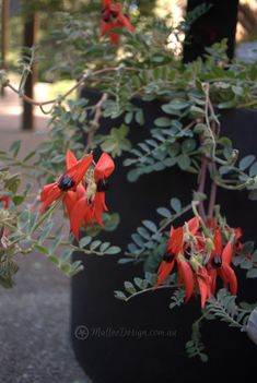 Native Plants for Pots