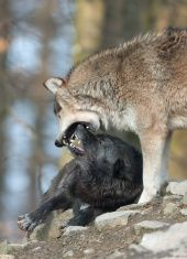 Fighting Canadian Timber Wolves stock photo