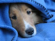 snuggly sheltie :)
