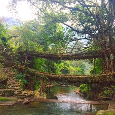 Bridges made from living tree roots. Totally feels like Indiana Johns stuff. Cherrapunjee, Meghalaya.