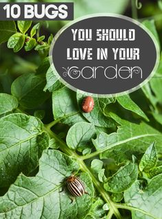 10 Bugs Your Should Love in Your Garden- Great insects that will only help in your garden.