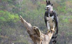 Harpy Eagle, Bald Eagle, Beautiful Owl, Animals Beautiful, Fauna Amazonica, Flying Monsters, World Birds, Backyard Birds, Animal Totems