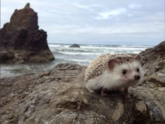 Oregon Hedgehog Goes On More Adventures Than You