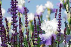 Iris mit Lavendel Blüten Poster von Tanja Riedel