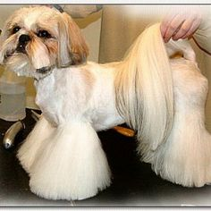 Shih-Tzu-Haircut Our site is base on latest Dogs Funny Picture we also provide you high quality wallpapers, pictures, latest images, photos. We have a huge data base of HD and HQ wallpapers. You can also find latest trends of Dogs Funny Pictures. Take a look and enjoy. http://whatstrendingonline.com/shih-tzu-haircut/