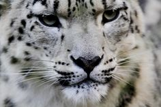 Snow Leopard Trust. Close up by wwmike, via Flickr