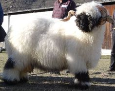 One of the Valais Blacknose Sheep herd in Scotland. They're so adorable! This is King Kong I believe. - https://www.facebook.com/ValaisBlacknoseSheepScotland