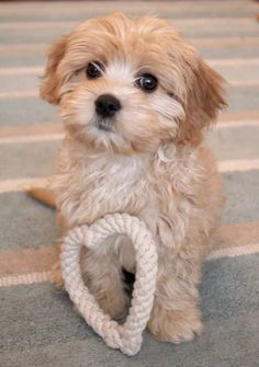 """Acquire great pointers on """"shih tzu puppies"""". They are offered for you on our web site. Super Cute Puppies, Cute Dogs And Puppies, Baby Dogs, Pet Dogs, Doggies, Teddy Bear Puppies, Cavapoo Puppies, Cavachon, Labradoodles"""