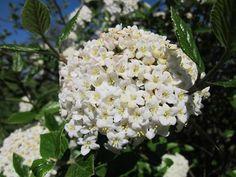 Groenblijvende sneeuwbal Viburnum burkwoodii - Kwekersvergelijk