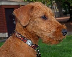 Rooster the Irish Terrier