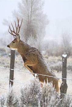 Buck Jump