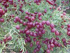 Nitraria billardierei (Zygophyllaceae)