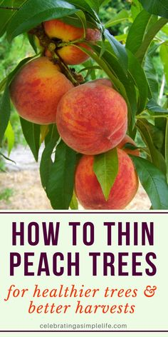 How to Thin Peaches for Better Harvests & Healthier Trees Thinning peach trees is vital for both the health of the tree, and getting the very best harvests! Fruit Plants, Fruit Garden, Garden Trees, Edible Garden, Growing Peach Trees, Growing Tree, Pruning Fruit Trees, Trees To Plant, Grafting Fruit Trees