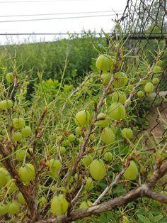 Stikkelsbærdrømmen tok brått slutt! Fruit, Food, Essen, Meals, Yemek, Eten