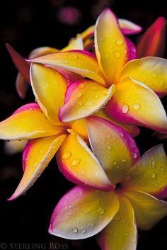 鉁?Hawaiian Plumerias