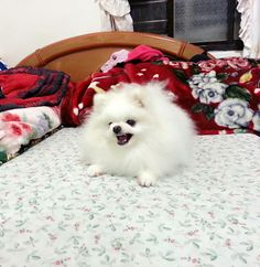 White Pomeranian -how completely beautifu!