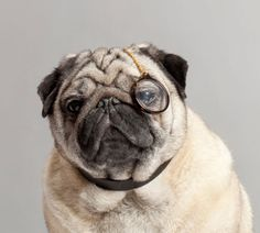 This dog looks like an old timer with this monocle on! So cute.