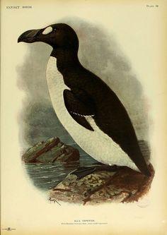 Great Auk, North Atlantic. Extinct since 1844.