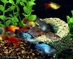 Platy Fish in an Aquarium.