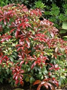 Red Tip Photinia Shrubs for Sale Live Plants, Garden Shrubs, Outdoor Gardens, Container Gardening, Shade Garden, Red Tip Photinia, Plants, Urban Garden, Large Plants