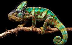 chameleon | Veiled Chameleon What animal could be cooler?