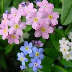 Forget Me Nots, pink and blue. (1) From: Img Fav (2) Webpage has a convenient Pin It Button