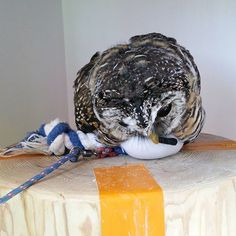 すっかり枕にしちゃってます(♡˙︶˙♡) #ふくろうの里原宿店 #ふくろうの里 #ふくろう #ふわもこふくろう部 #パンダ #おもちゃ #お昼寝 #動物 #ぬいぐるみ #アカアシモリフクロウ #もずく #原宿 #owlvillageharajuku #owlvillage #owl #panda #sleep #sleepy #mozuku #lovely #cafe #harajuku #tokyo #Japan