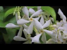 Jasmin étoilé, Trachelospermum jasminoides, Faux Jasmin   Sam au Jardin Sam au Jardin
