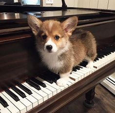 "3,489 Likes, 66 Comments - Corgeous Corgis (@corgeouscorgis) on Instagram: ""Let me play you the song of my people!  Photo by: @lepetitmabel #corgi #corgisofinstagram…"""