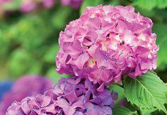 Dicas de cultivo da flor hortênsia - Flores - Plantas, Flores e Jardins