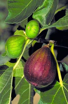 Botanical name: Ficus carica, many varieties Where it will grow: Hardy to 0 degrees Fahrenheit (USDA zones 7 to 9)  Water requirement: Light...