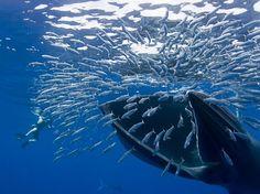 Baleia devora sardinhas no cabo San Lucas, no México