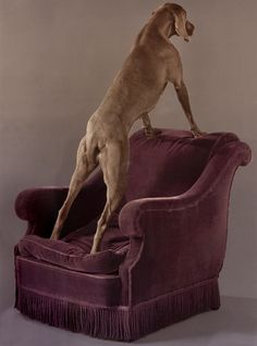 Armed Chair  William Wegman