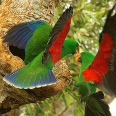 Two Male Eclectus Parrots.