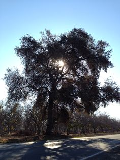 The Oak tree is a protected tree in Visalia, CA.  They cannot be removed without a permit. Our beautiful city has many oak tree lined streets, a beautiful tree worth preserving.