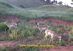 Custer State Park and Wildlife Reserve in South Dakota. Large State Park and beautiful terrain. Share photos of fantastic places with this postcard! Click to send this card.