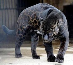 Black panther leopard mix?