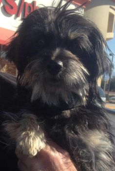 Meet Sadi Sue, a Petfinder adoptable Yorkshire Terrier Yorkie Dog | Mission Viejo, CA | Sadi Sue is a super sweet, cute loving girl that wants nothing more than to be loved! Sadi Sue is a...