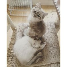 Ragdoll Kittens For Sale, Kitten For Sale, Kitty Kitty, Cute Cats, Animals, Pretty Cats, Animales, Animaux, Animal
