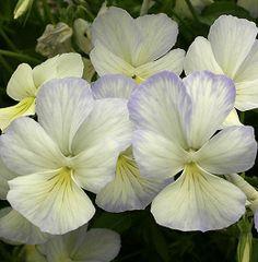 Horned Violet 'Pale Apollo' (Viola cornuta)