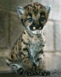 Baby Puma ........ Have you EVER seen anything as Cute as this Fur Baby??????