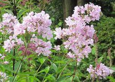 Phlox Utopia Perennials, Rose, Plants, Image, Cottage, Garten, Pink, Casa De Campo, Roses
