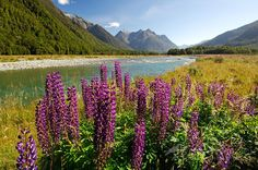 Lupins in the Eglinton Valley, South Island